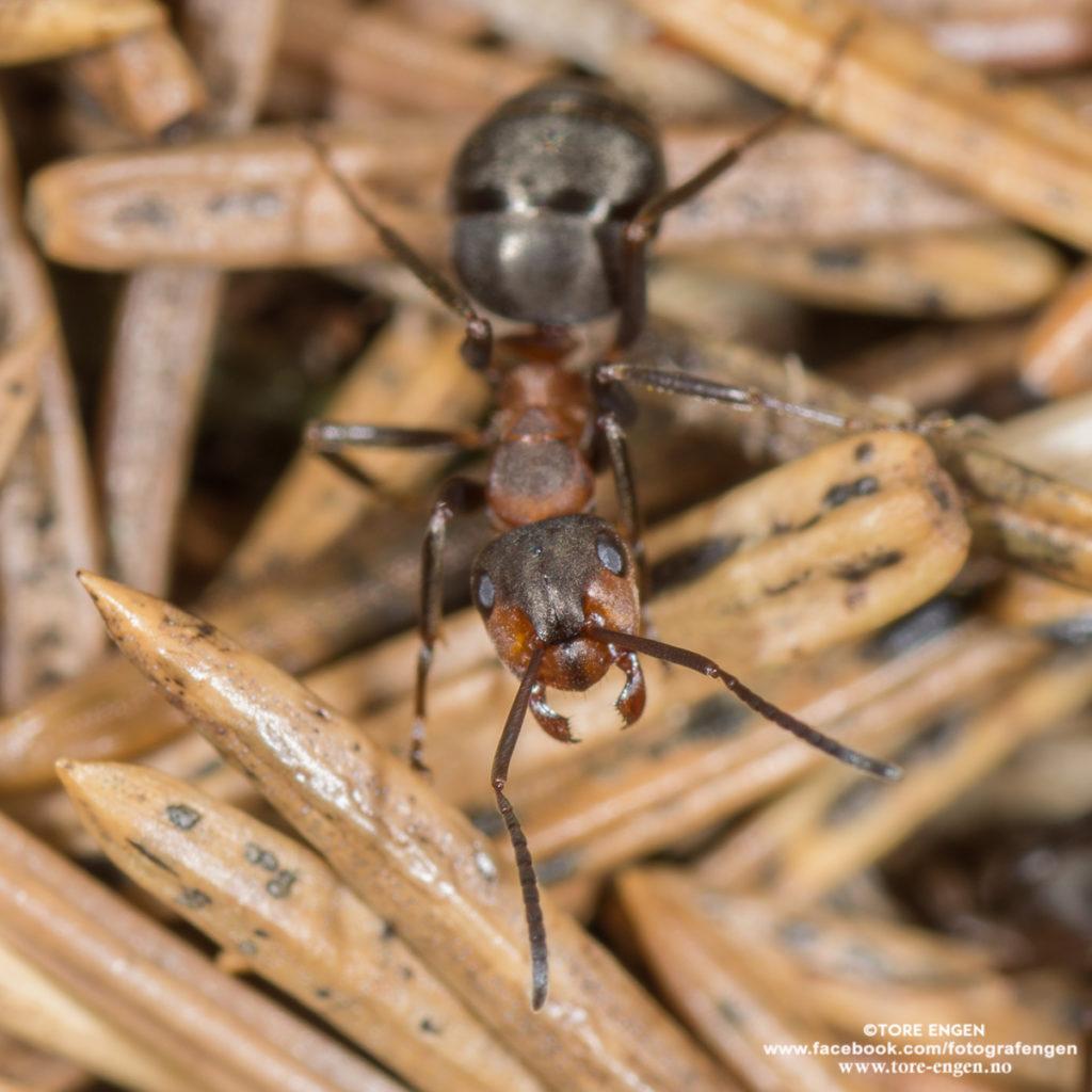 Maur i maurtue fotografert på nært hold med macrolinse.