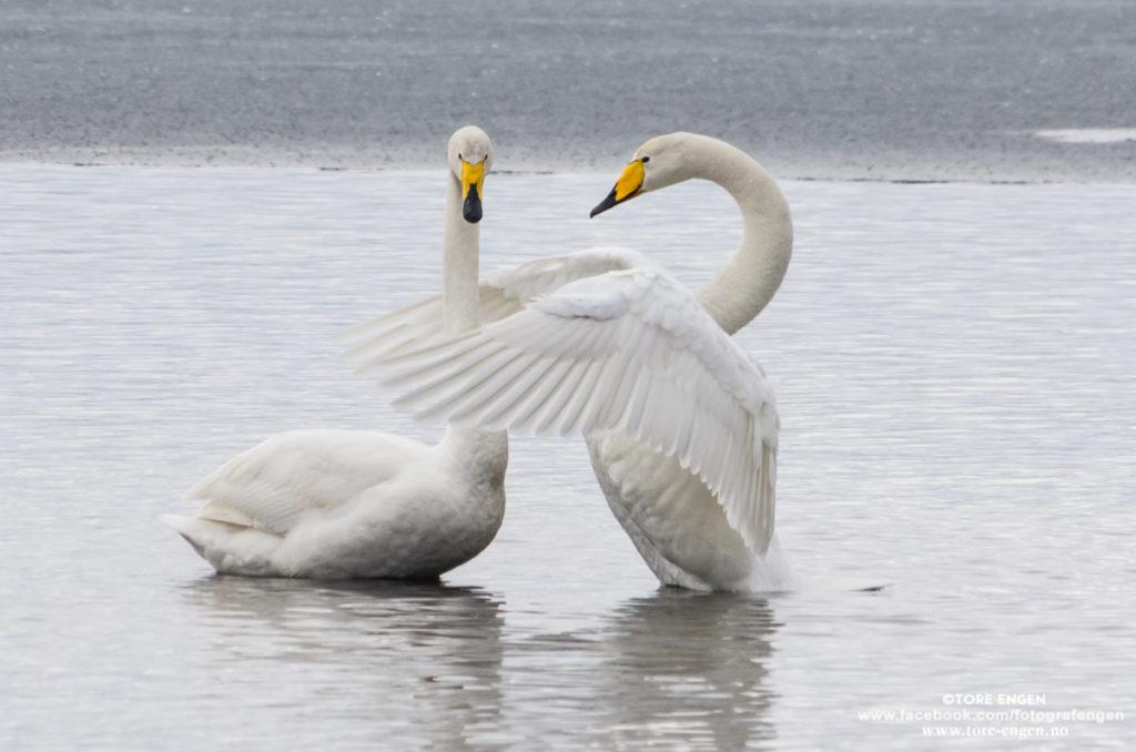Bilde av to sangsvaner som omfavner hverandre.