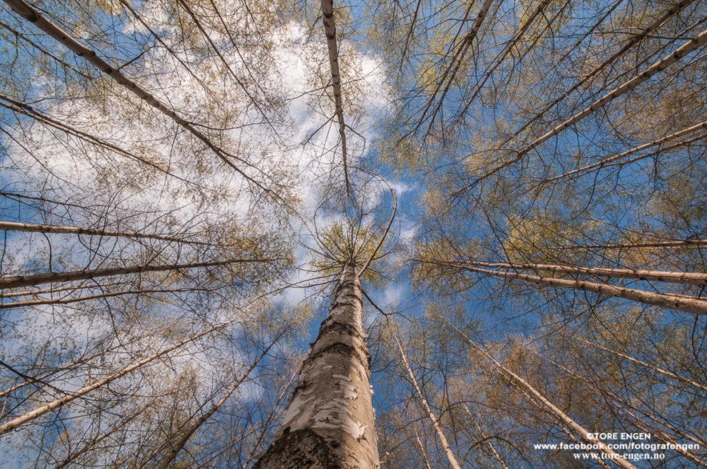 Trekroner av bjørk og blå himmel